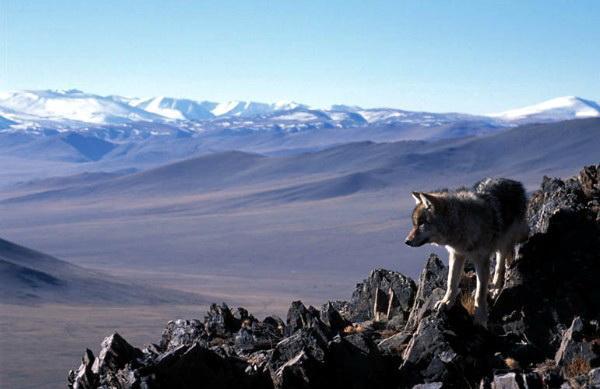 Его величество Волк