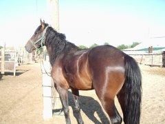 Казахская порода лошади ЖАБЫ