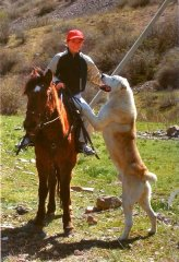 Казахская овчарка - волкодав Тобет