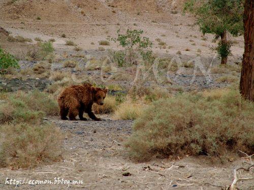 Мазаалай (пустынный бурый медведь)