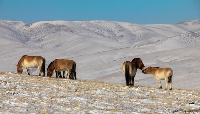 Тахь(Лошадь Пржевальского )