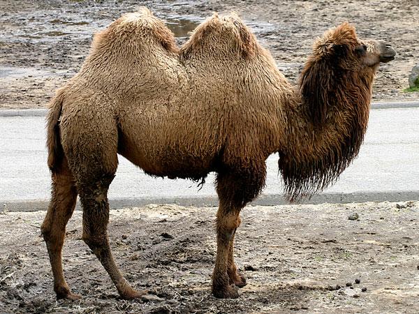 Хавтгай( Дикий верблюд)
