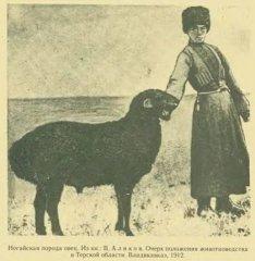Ногайская_порода_овец_1912_